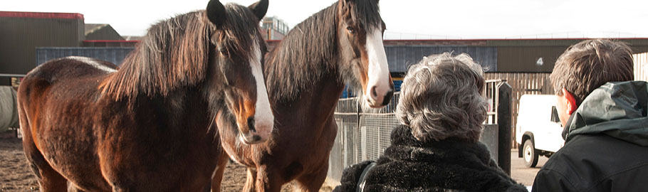Our magnificent and friendly Shire Horses